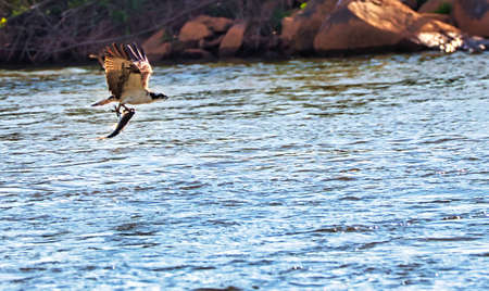 An osprey flying low over the Catawba river in South Carolina, USA, with a large fish in its talons.