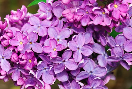 Fragrant lilac blossoms outdoor setting. Closeup. Stock Photo - 7140935