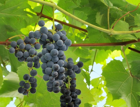 cabernet: Ripe cabernet grapes ready for harvest Stock Photo