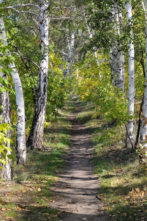 Footpath through sun dappled birch forest. Sunny day. photo