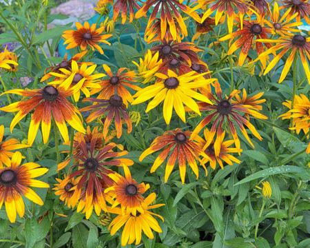 hirta: Macro of a variety of Black Eyed Susan Flower, also called Rudbekia hirta