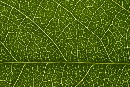 Green leaf background texture Stock Photo - 13186993