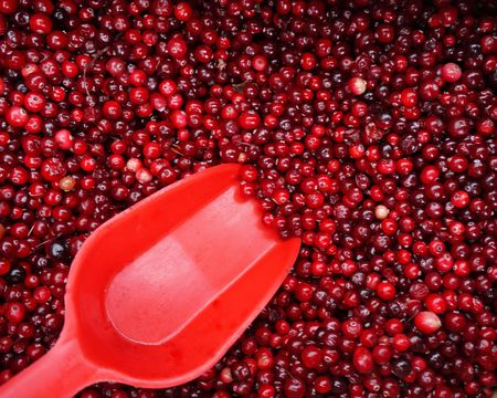 Closeup of a mass of cranberries with shovel ready to collect photo