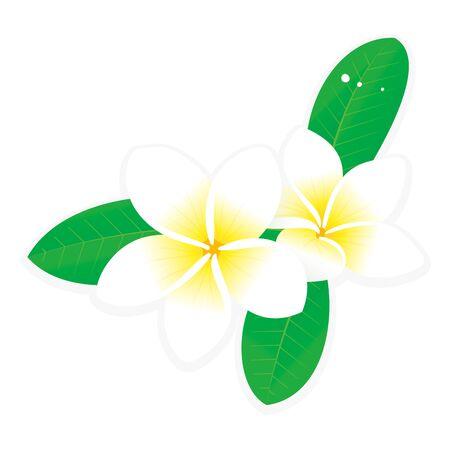 Vector illustration of white plumeria flower Ilustrace