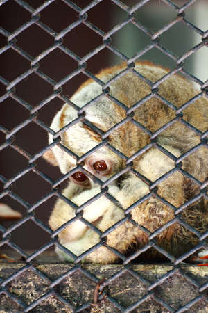 sorrowfully: Sadness Loris in the cage