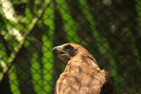sorrowfully: Brown hawk in the cage Stock Photo