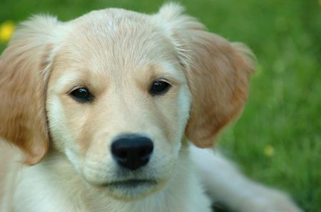 Portrait shoot of golden retriever puppy with focus on eyes