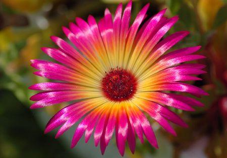 Mesembryanthemum criniflorum, also known as Livingston Daisy photo