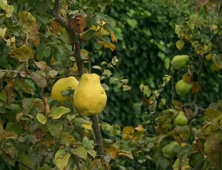 pome: quinces in spanish garden, natural and organic, hence the imperfections on the fruits