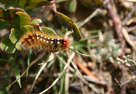 lepidopteran: european caterpilar on grass Stock Photo