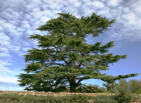 Cedro del Líbano contra el cielo azul