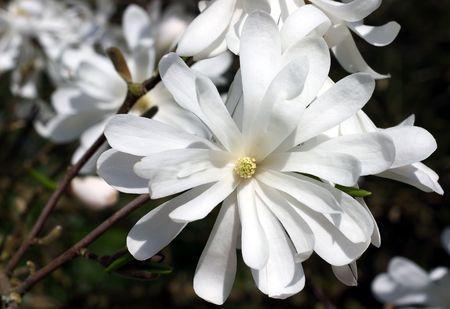 close up of white star magnolia blossom photo