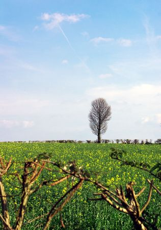 tree with rape field and hedge branches Stock Photo - 867017