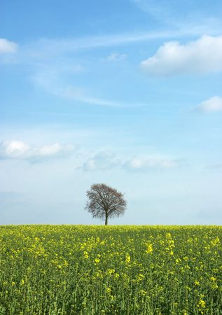 tree with green yellow rape field and blue sky Stock Photo - 867018