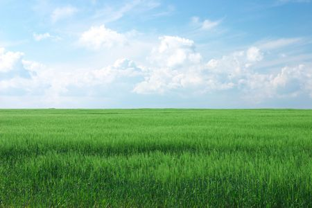 lush green wheat field with cloudy blue sky