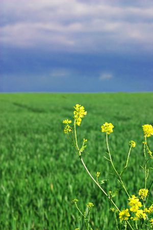Rape seed flowers with wheat field and stormy sky in the background Stock Photo - 999109