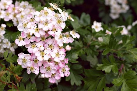 rose tinted version of white thorn flowers, common hawthorn or Crataegus monogyna, also known as May, Maythorn, Quickthorn, and Haw, used as hedges or as natural remedy for the . Stock Photo