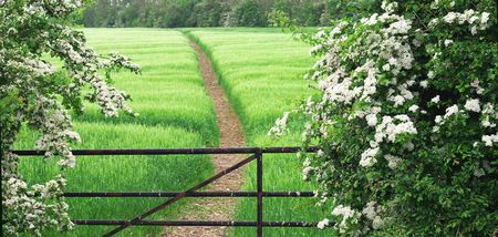 gate, footpath and wheat field with of white thorn hedge, common hawthorn or Crataegus monogyna, also known as May, Maythorn, Quickthorn, and Haw, used as hedges, like here, or as natural remedy for the . photo
