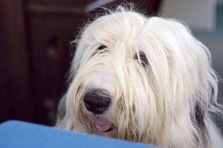 old english: old english sheepdog portrait, begging on table