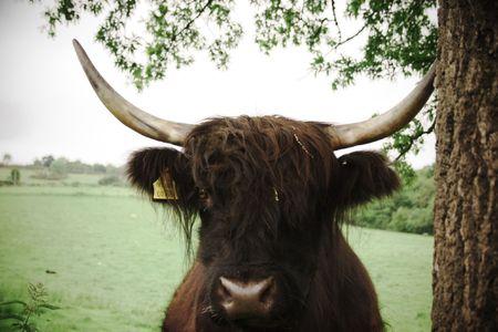 Highland cattle retro portrait photo