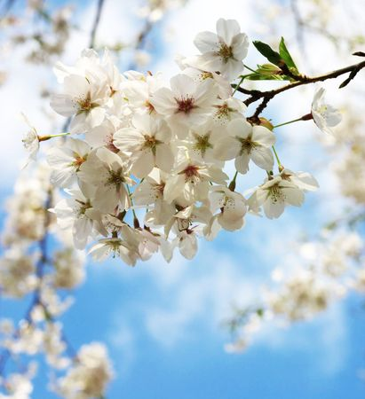 japanese cherry blossoms, high-key photo