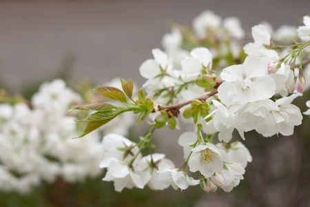 Apple blossoms, shallow depth of field and bokeh. Stock Photo - 13219975