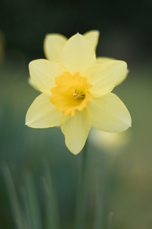 Narcissus or daffodil in an English garden, shallow depth of field. Stock Photo - 13219963