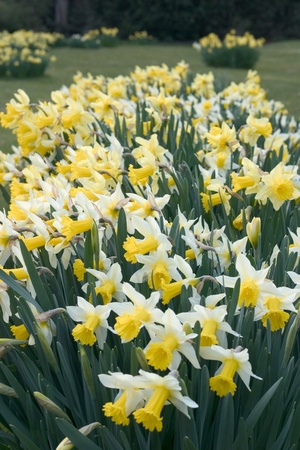 Narcissus or daffodil in an English garden, shallow depth of field. Stock Photo - 13219988