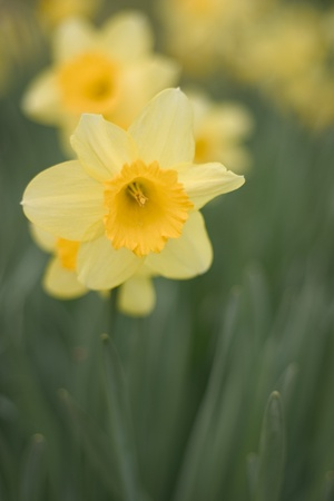 Narcissus or daffodil in an English garden, shallow depth of field. Stock Photo - 13219970