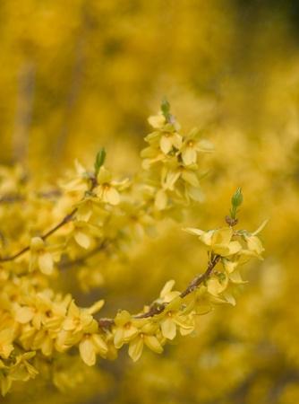 shallow depth of field: Forsythia blossom, shallow depth of field Stock Photo