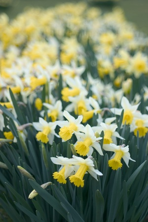 Narcissus or daffodil in an English garden, shallow depth of field. Stock Photo - 13281501