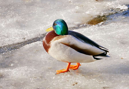 He-duck on ice