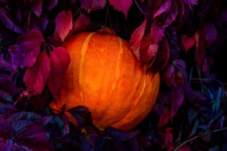 Pumpkin among leaves of wild grapes at night Stock Photo