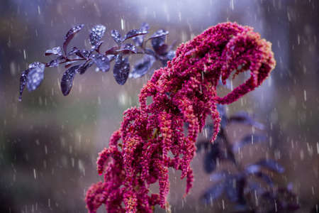 dismal: October rain, violet and pink. Close-up of garden plants in the autumn rain. Stock Photo