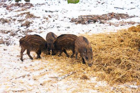 wintery snowy: Wild Boar in its First Year