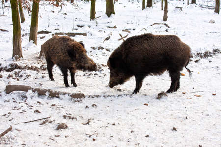 snow covered forest: Wild Boar in in a snow covered forest