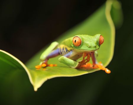costa rica juvenile red eyed green tree frog Stock Photo
