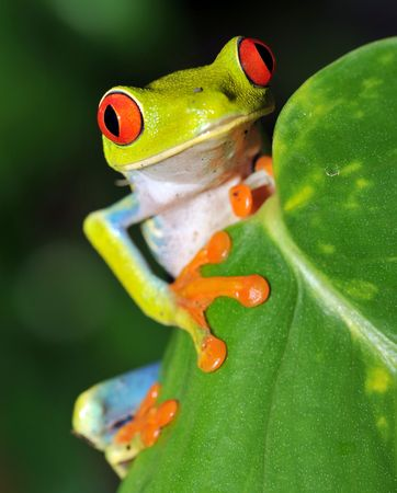costa rican red eyed green tree frog Stock Photo