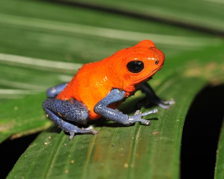 blue jeans or strawberry poison dart frog sitting on green leaf,costa rica Stock Photo