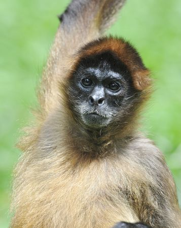 adult male spider monkey raising arm