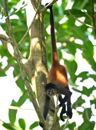 juvenile male spider monkey hanging from tree by tail, costa rica 1