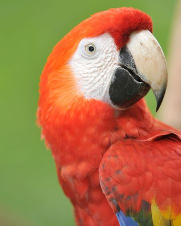 close up of head of scarlet macaw, costa rica