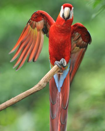 excited adult scarlet macaw showing off wing