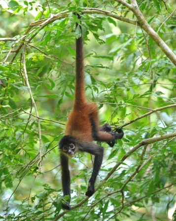 juvenile male spider monkey hanging from tree by tail, costa rica