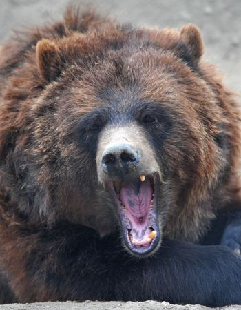 snarling female grizzly or brown bear Stock Photo - 5382918