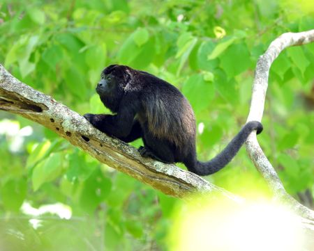 male howler monkey holding tree with tail Stock Photo