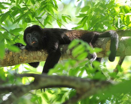male howler monkey laying on tree branch