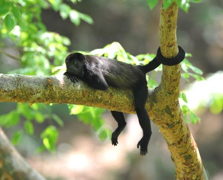 female howler monkey relaxing with tail holding tree