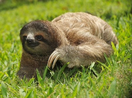 three toed sloth crawling in grass, costa rica Stock Photo