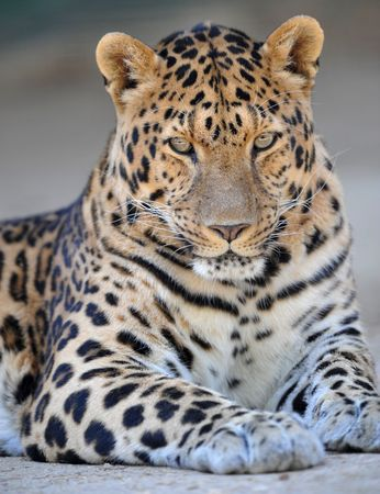 magnificient amur leopard adult male looking at camera
